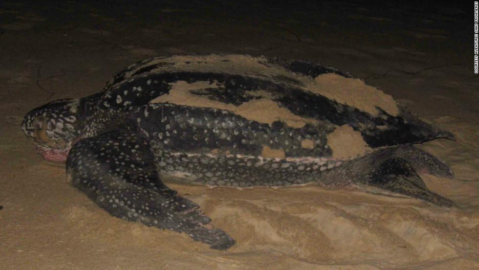 A leatherback at night, Gabon.