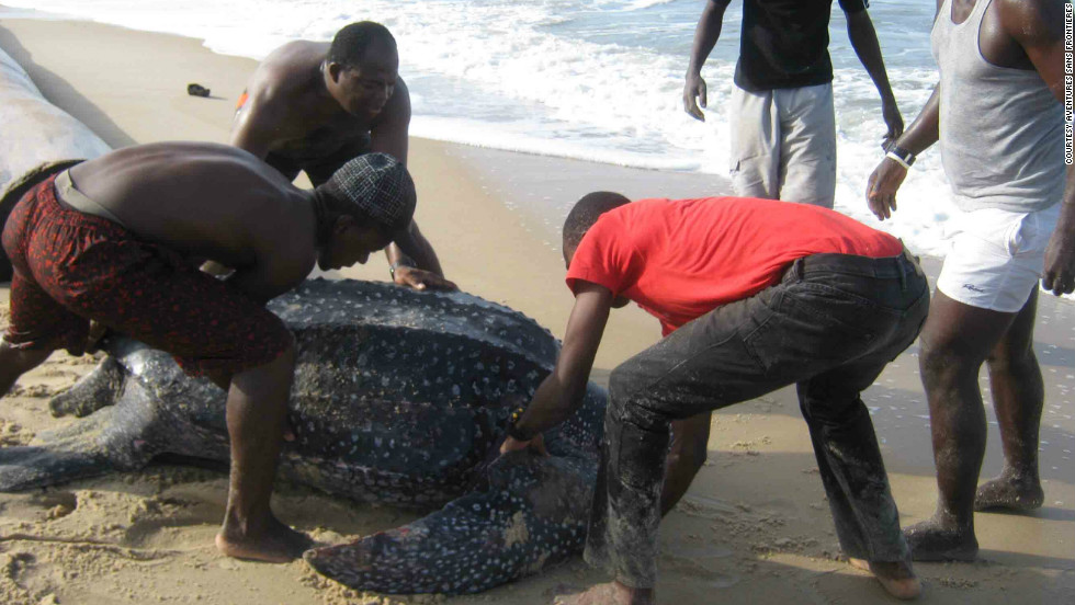 The leatherback is the world's biggest sea turtle; the largest ever discovered was 3m from head to tail.