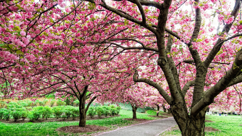 Brooklyn Botanic Garden's Cherry Esplanade is one of the highlights of cherry blossom season.