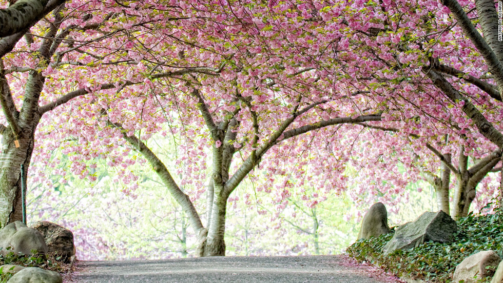 Cherry Blossom Festivals A Rite Of Spring | CNN Travel