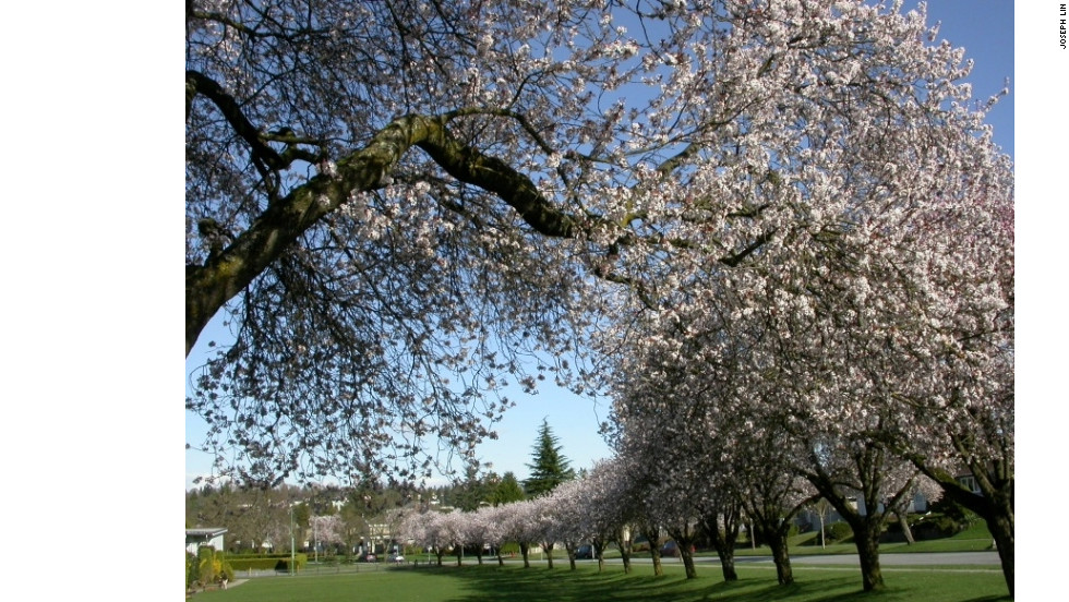 Vancouver has more than 40,000 cherry trees gracing its streets in neighborhoods such as Arbutus Ridge.