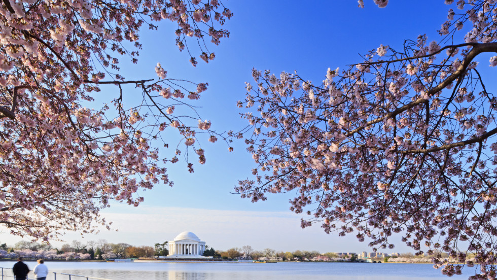 The blossoms surround the Jefferson Memorial with a picturesque frame. The National Cherry Blossom Festival runs March 20 through April 27 in the capital.