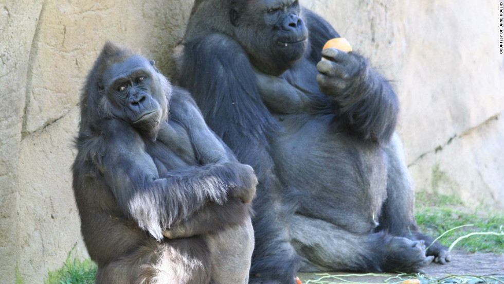 The complete DNA of a female western lowland gorilla called Kamilah (left) has been mapped by scientists, completing the set of genomes for all great apes (humans, chimpanzees, gorillas and orang-utans).