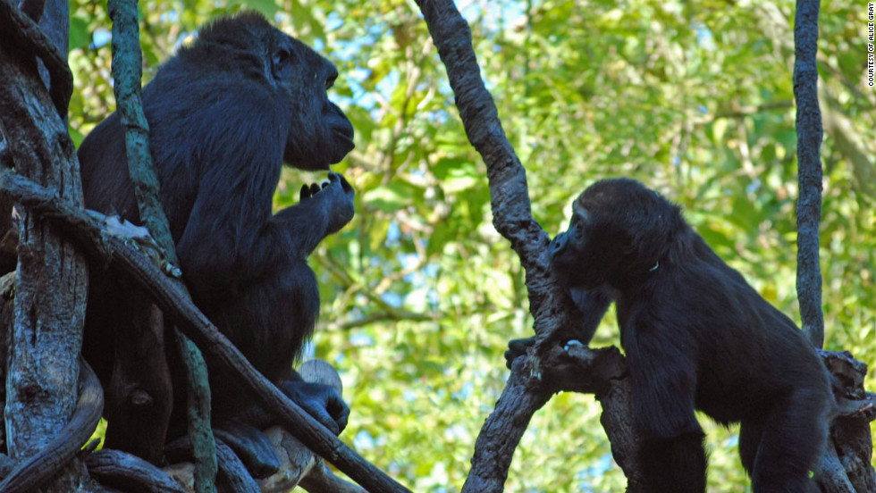 Initial findings have shown that 15% of the gorilla genome is closer to human DNA than to our nearest evolutionary relative, the chimpanzee.