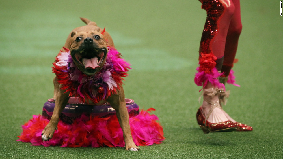 A dog and its owner perform a routine on day three of Crufts at the Birmingham NEC Arena on Saturday, March 10. Nearly 22,000 dogs compete in the four-day competition.