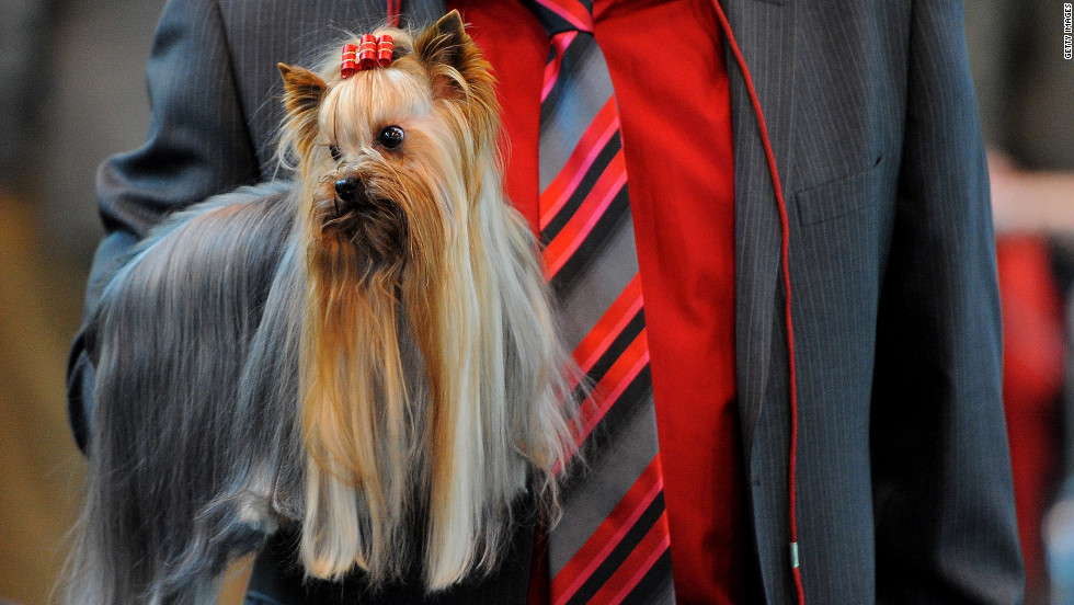 A Yorkshire terrier is held by its owner Thursday.