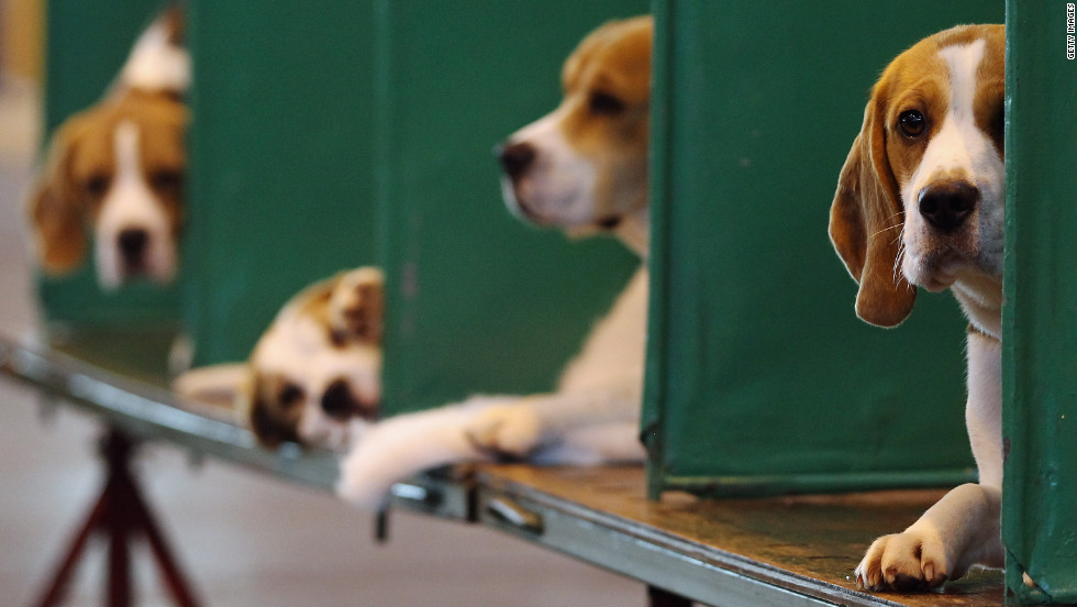 Beagles rest in their kennels on Sunday.