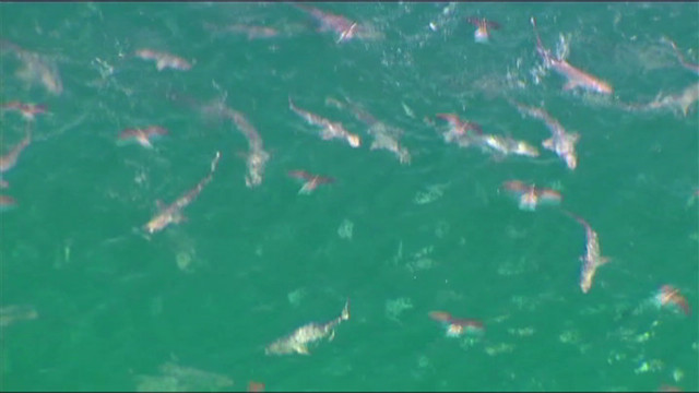 Sharks go on feeding frenzy