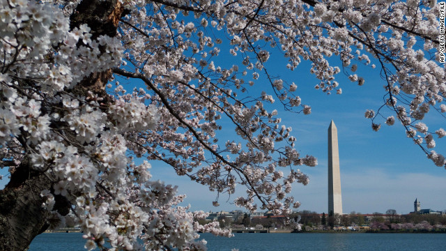 Springtime cherry blossoms frame the Washington Monument in the nation's capital.