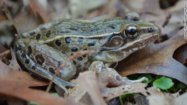 "Scientists say the new leopard frog species, which is currently unnamed, has a ""peculiar croak."""