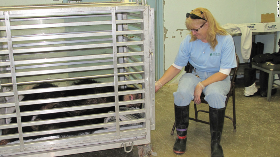 """Preparing the chimpanzees for their move was bittersweet for Save the Chimps employees, who spent years caring for the animals. """"What am I going to do when I get up at 5 o'clock in the morning and they're not here?"""" asked Debra Lovelace as she tearfully said goodbye to Bart, a 20-year-old chimpanzee.  """"It's been eight years but it's part of a dream."""" That dream is to see these chimpanzees moved to a Florida sanctuary where they will have space to run and play."""