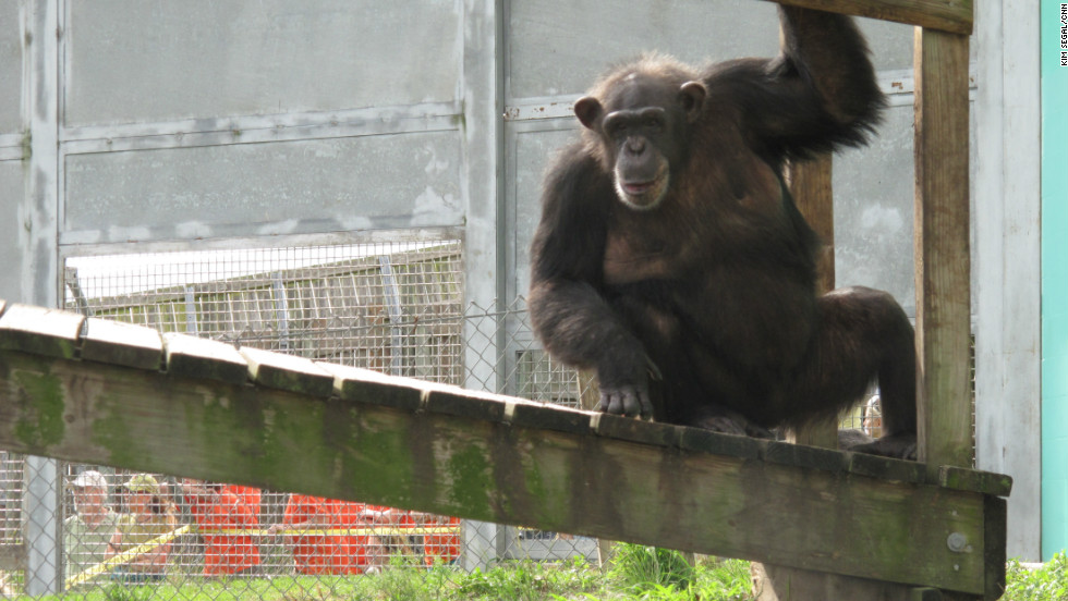 Sarah looks out the window at a much greener view than the one she had in New Mexico.  She and her family members will have access to a three-acre island. The 150-acre sanctuary has constructed the islands in lieu of fences because chimpanzees will not go into the water.
