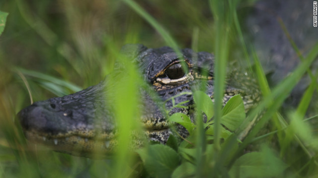 Alligators are a frewuent site amidst the sawgrass of the Florida everglades.