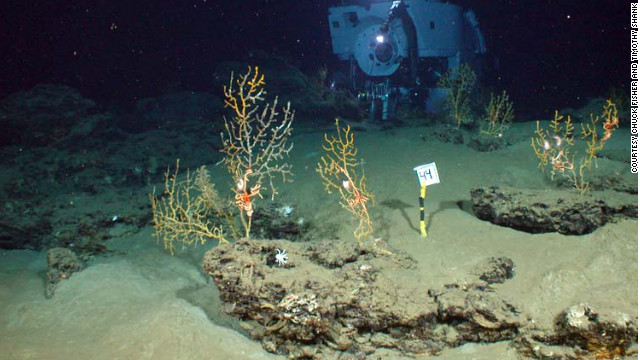 "Researchers found coral at the bottom of the Gulf of Mexico covered with ""black scum"" and gooey brown mixture of materials."