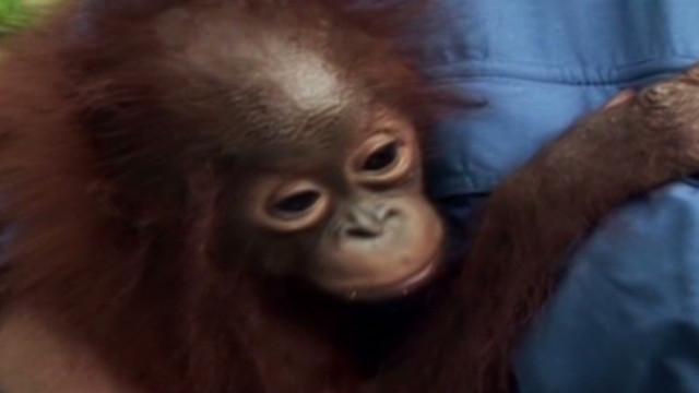 Saving orphaned orangutans