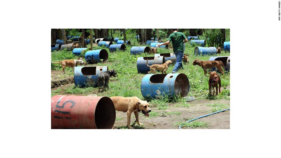 La organización PAWS realizó el operativo para rescatar a los pitbulls y arrestó a 8 personas.