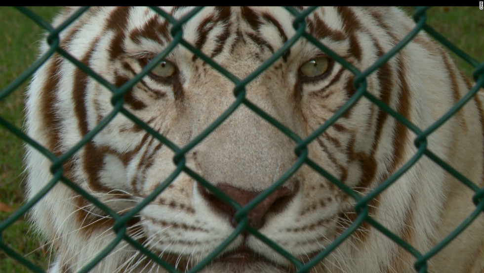 A rescued white tiger at the Abu Dhabi Wildlife Center.