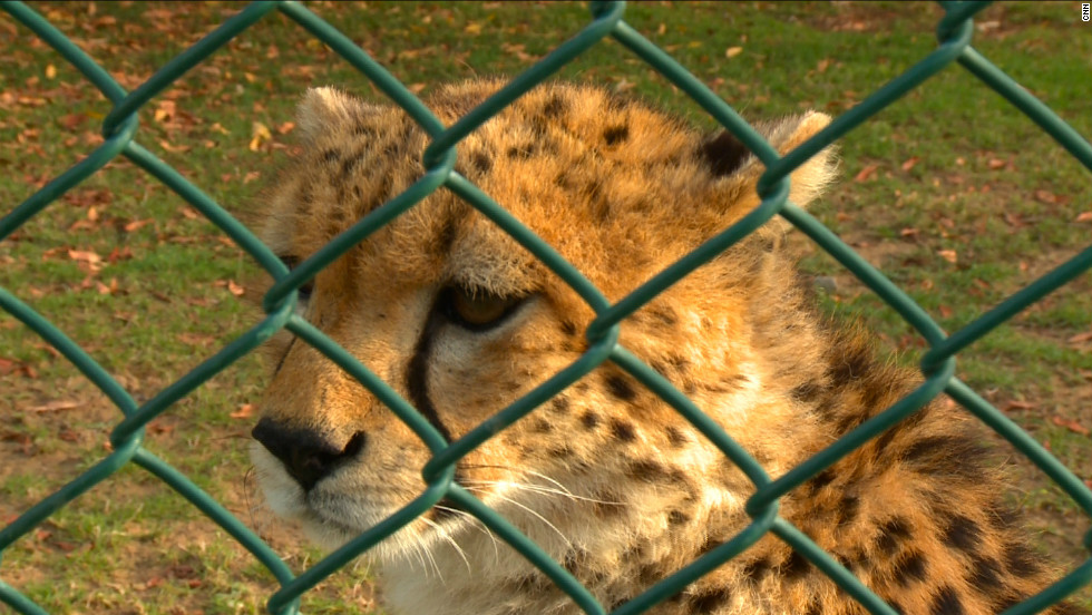 Cheetahs, the fastest animals on land, are popular status symbol pets. One YouTube video shows a cheetah being lead around on a leash indoors.
