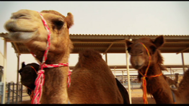 The business of camel milk in UAE