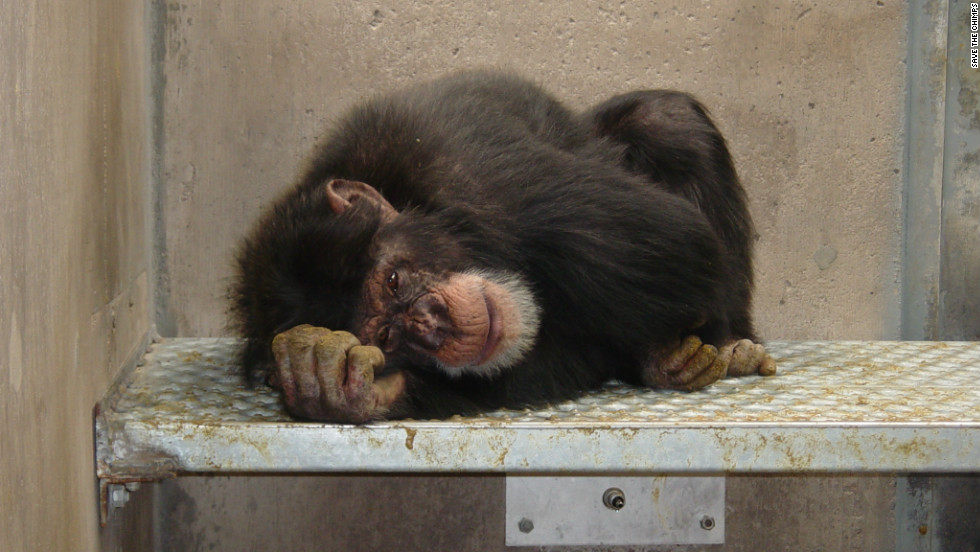 More than a decade ago, more than 265 chimpanzees -- including Howard, pictured here in 2002 -- spent their days at a New Mexico medical research facility being poked, prodded and confined to small cages.  Then, the Save the Chimps foundation intervened.  After nearly a decade of rehabilitation, the chimps were transported to a 150-acre sanctuary in Florida.  CNN went along with the last group as they made the journey and experienced their first time outdoors.