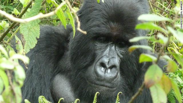 An adult mountain gorilla.
