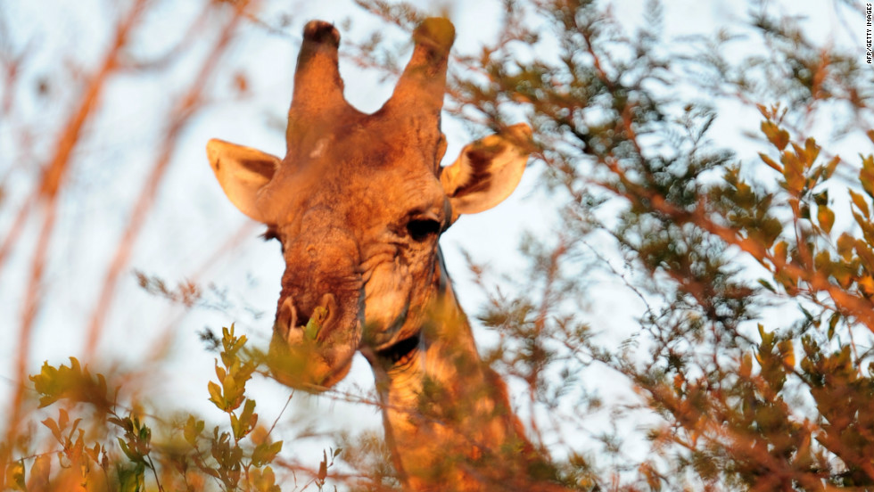 A giraffe munches on tree leaves at Kruger National Park.