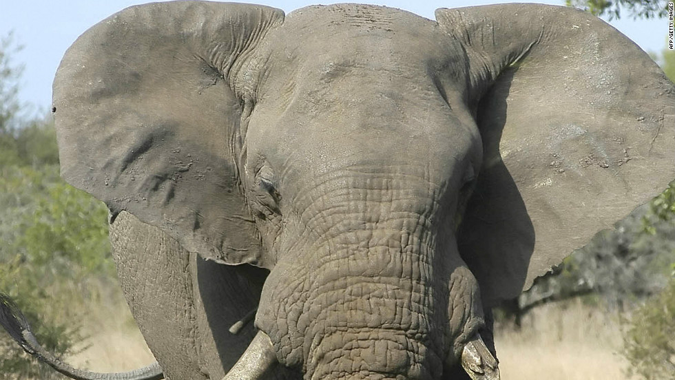 """One of the many elephants of the Phinda Natural reserve in KwaZulu-Natal. The former Zulu Kingdom is home to numerous nature reserves where all the """"Big Five"""" game animals can be seen: Black rhinos, Cape buffalo, lions, cheetahs and, of course, the giant African elephant."""