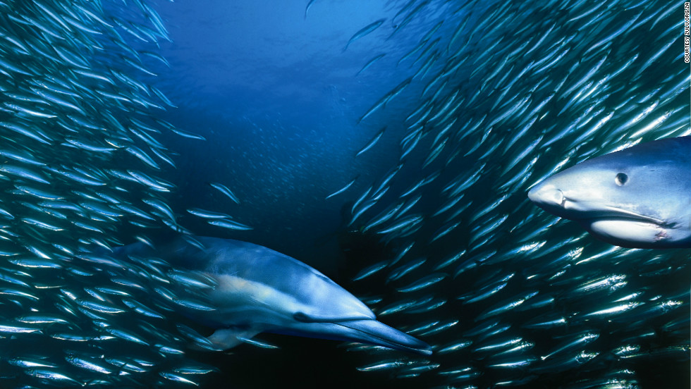 Every year between May and July, billions of sardines spawn in the shallow waters of the Agulhas Bank and head north up South Africa's east coast, prompting one of the world's largest underwater feeding frenzies.