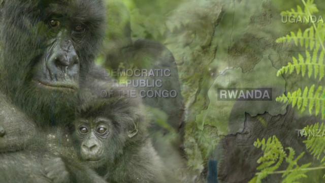 Tracking Rwanda's mountain gorillas