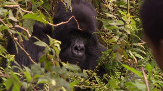 Finding Rwanda's mountain gorillas