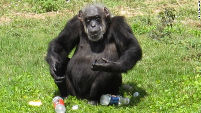 Little Mama, 74, at Florida's Lion Country Safari park is believed to be the oldest chimpanzee in captivity.