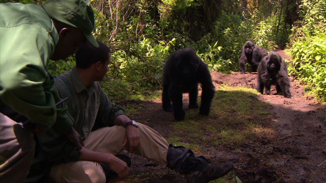 Getting close to Rwanda's gorillas
