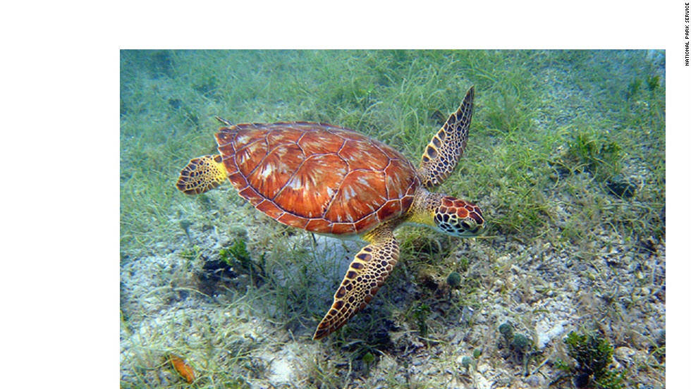 The green turtle, shown here, and the hawksbill turtle are among the most commonly spotted sea turtles in the waters around the Virgin Islands.