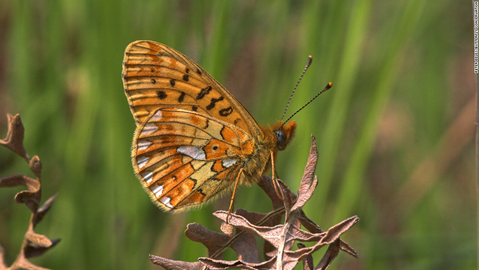 The pearl bordered fritillary is another butterfly found in the UK's cleared woodland environments that is in decline.