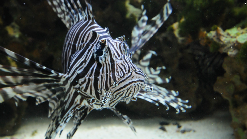 taming the lionfish florida fights back against invasive