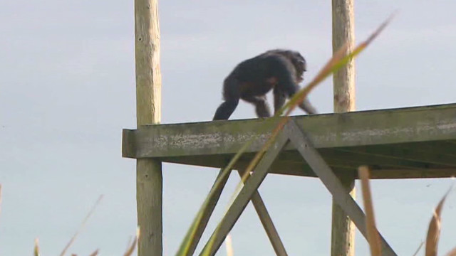 'Dungeon' chimps feel grass for 1st time