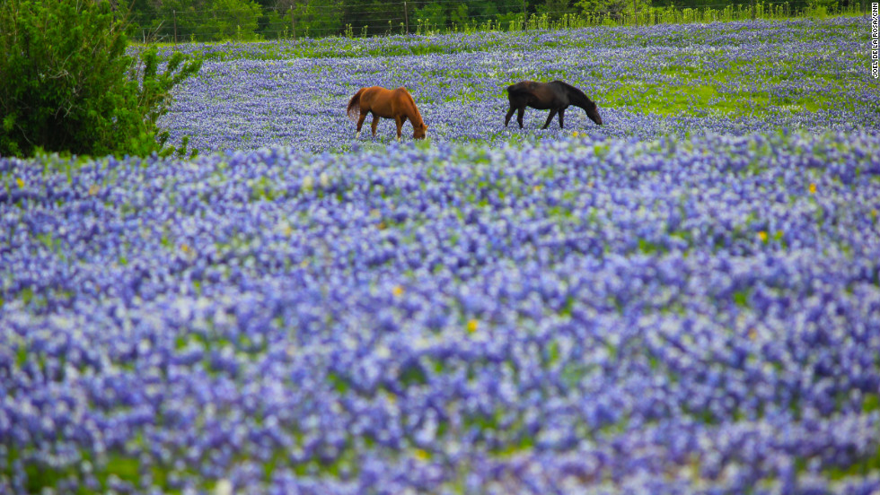 photos texas bluebonnets in full bloom, Beautiful flower