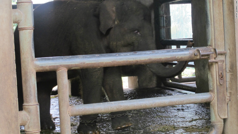 At Surabaya Zoo, a baby elephant struggles to walk with chains on his feet in a cramped concrete cell. One of the keepers tells Tony Sumampau, the man tasked with improving conditions, that the chains are used to train the young elephant to walk.