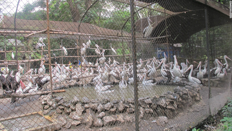 The Indonesian government took over the zoo in 2010 and appointed a temporary team to raise standards. However, a lack of investment means these pelicans barely have enough room to spread their wings.