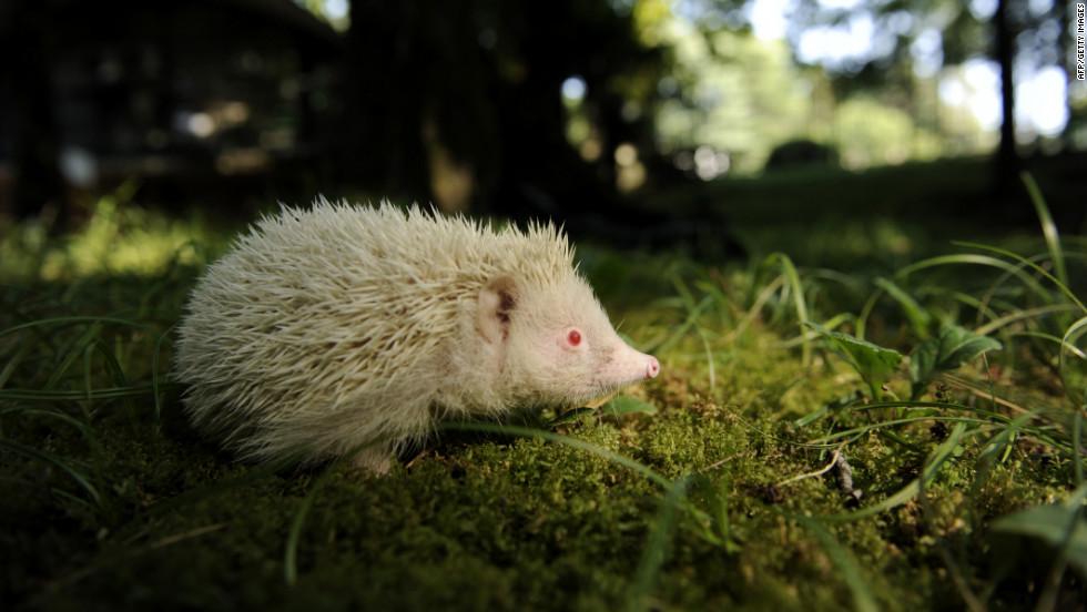 An albino hedgehog  in the Zoo of the Botanical Garden in the Russian Black Sea resort of Sochi.
