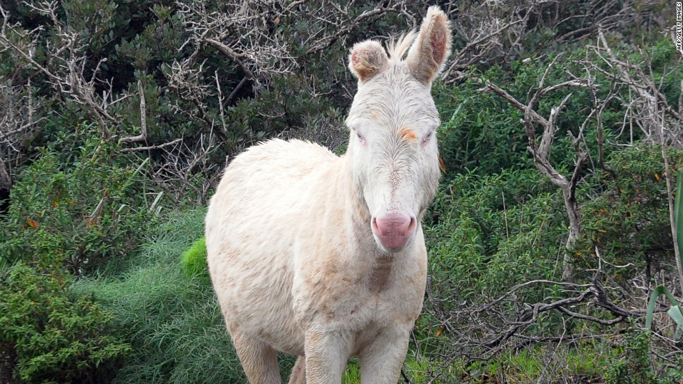 A wild white donkey on the island of Asinara, Italy. The donkey is an albino variant of the more common Sardinian donkey.