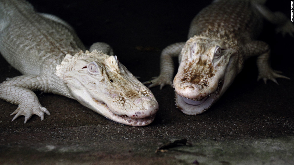 These two white albino alligators live in the Alligator Bay zoological park in Beauvoir, France.
