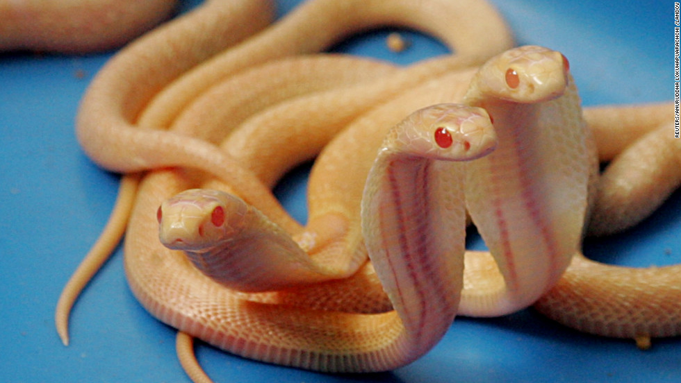 Two-week-old Sri Lankan Albino cobras at the National Zoological Gardens in Colombo, Sri Lanka.