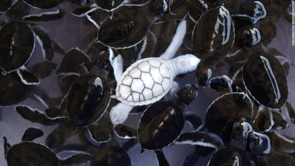 An albino baby turtle swims with green sea turtle babies in a pond at Khram island, Thailand.