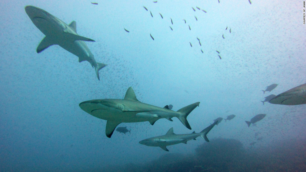 "Co-author of the study, Julia Baum said: ""Reef shark fins are not the most valuable because they tend to be smaller than other sharks, but a lot of other oceanic sharks have already declined a lot so that's why fisherman are now turning to them."""