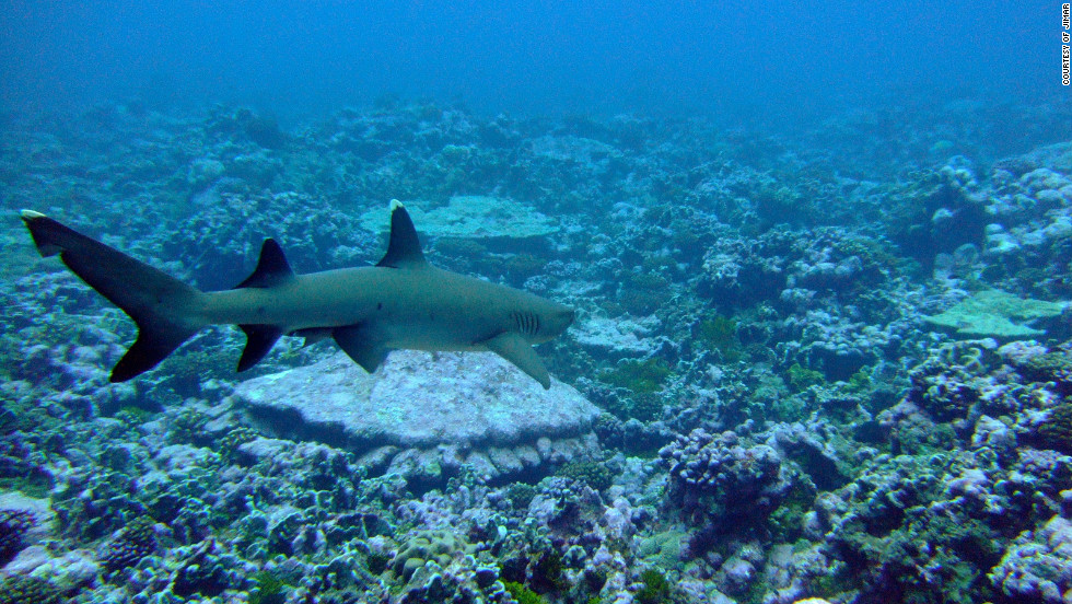 "A whitetip reef shark at Palmyra Atoll. Lead author of the study Marc Nadon said: ""Reef shark numbers were greatly depressed compared to reefs in the same regions that were simply further away from humans."""