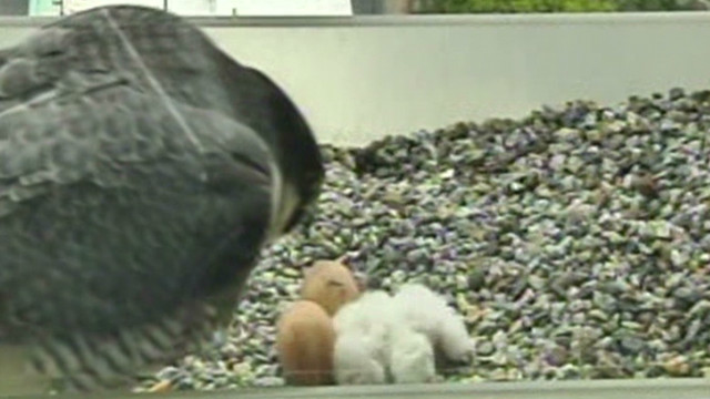 VO MA Falcon Chicks Cam_00000927