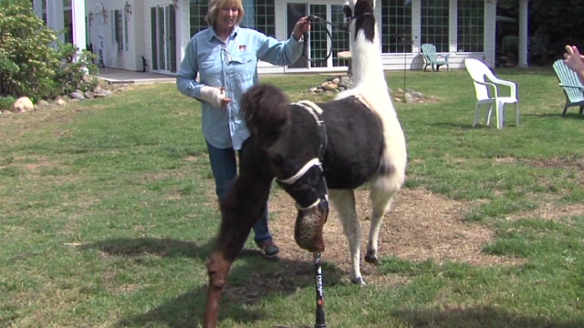 dnt llama prosthetic leg_00005106