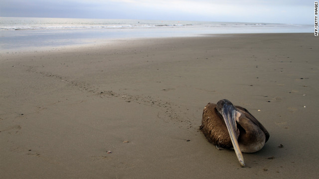A dying pelican crawls away from the surf. Peruvian officials say warm water has affected the birds' food supply.