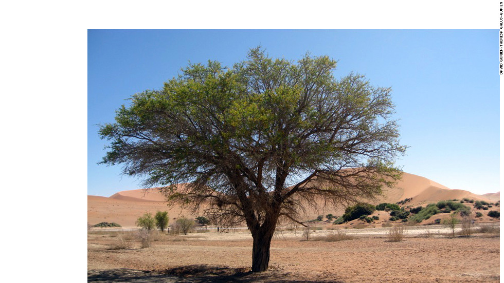 A live acacia tree provides a vivid splash of green on the barren landscape.